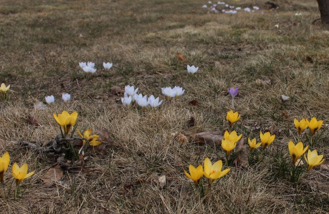 snow crocus naturalized lawn