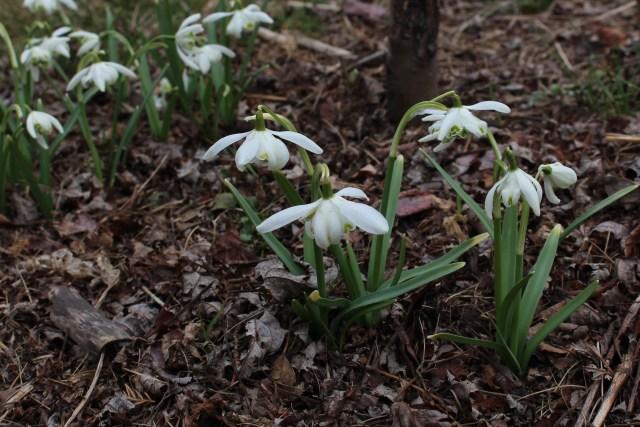 double snowdrop galanthus flore pleno