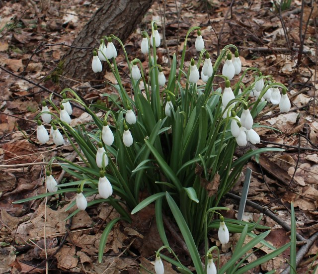 galanthus mrs backhouse #12