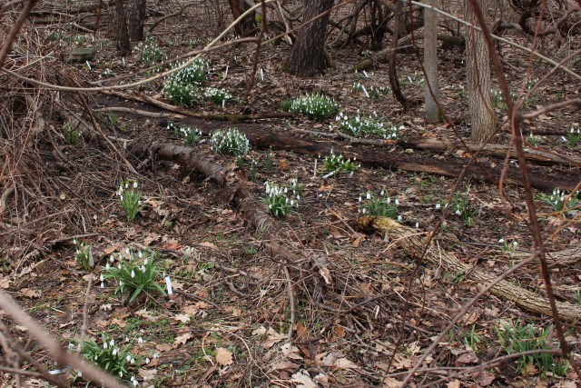 snowdrops at hitch lyman garden