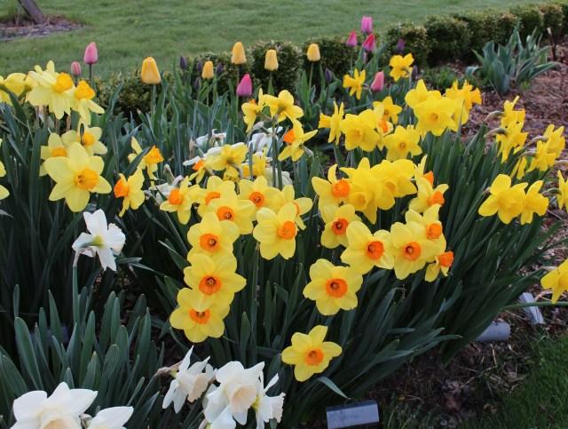 daffodil narcissus serola