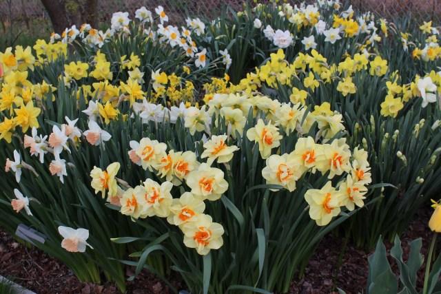 narcissus tahiti daffodil
