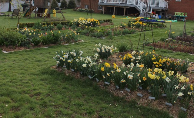 daffodils in the vegetable garden