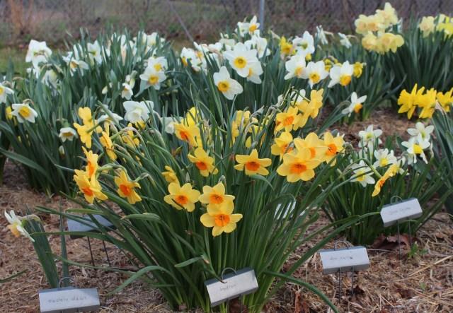 daffodil narcissus kedron
