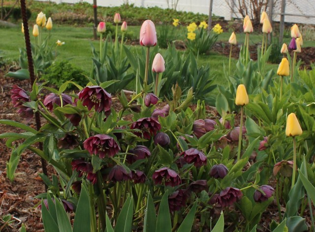 tulips and double hellebore