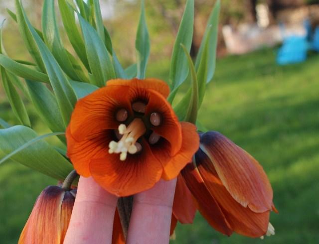 fritillaria imperalis nectaries