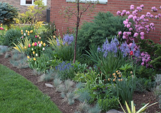 tulips and camassia