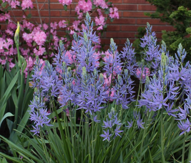camassia leichtlinii caerulea or 'blue danube'