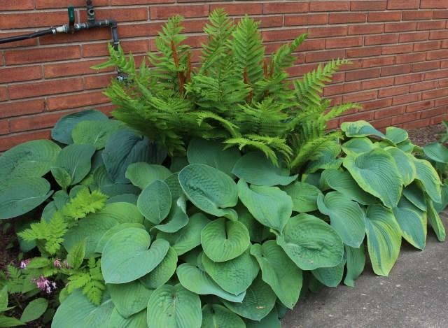 hosta frances Williams seedlings