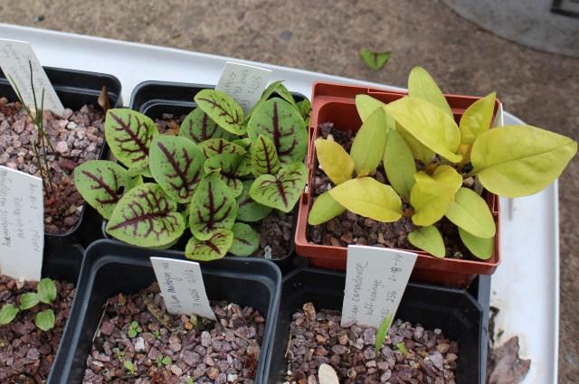 rumex sanguineus seedlings with 'sunny side up' pokeweed