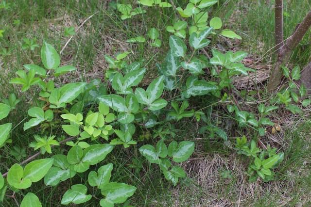 Japanese clematis Clematis terniflora foliage