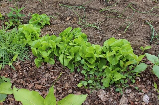 self sown lettuce seedlings