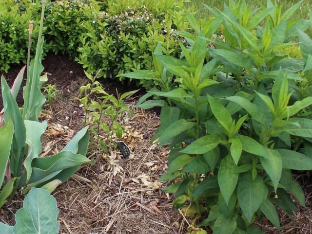 garden phlox with spider mites