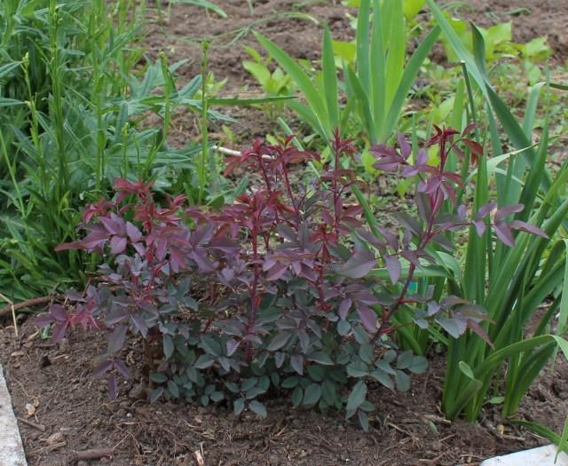 rosa glauca seedling