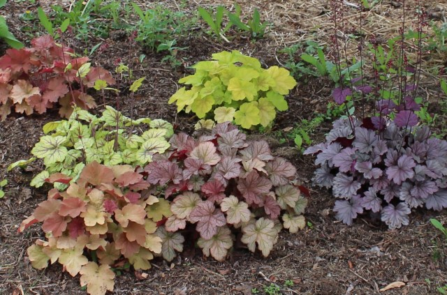 mixed heuchera planting