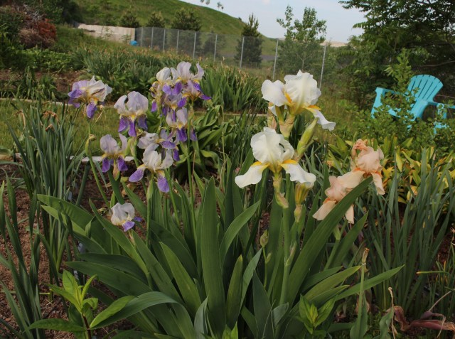 historic bearded iris