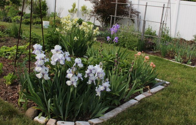 iris in the vegetable beds