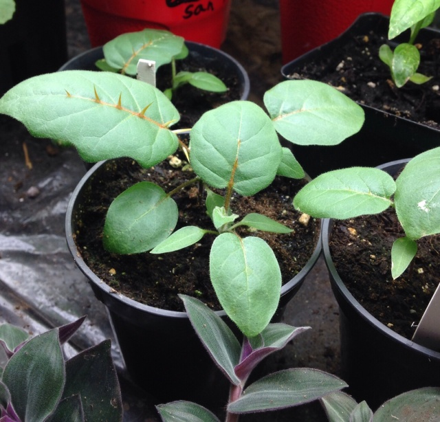 Solanum pyracantha porcupine tomato