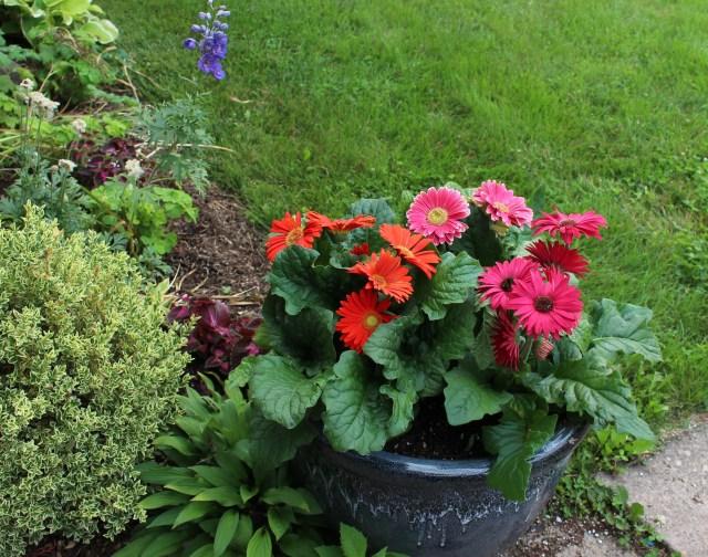 gerbera daisies planter