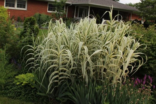 arundo donax variegata