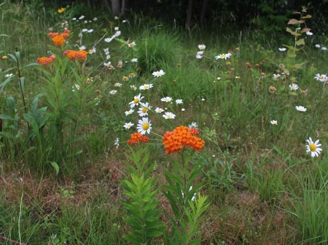 meadow planting asclepias tuberosa