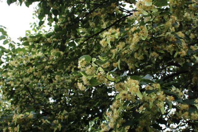 linden blooms tilia basswood