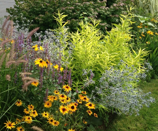 Willow salix 'golden sunshine'