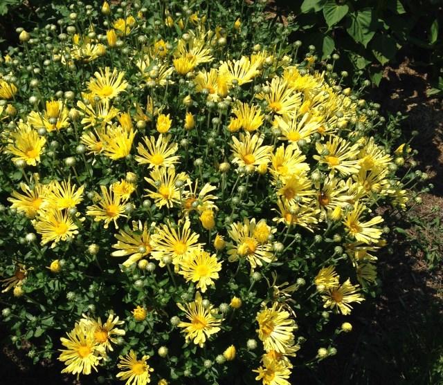 mammoth yellow quill chrysanthemum
