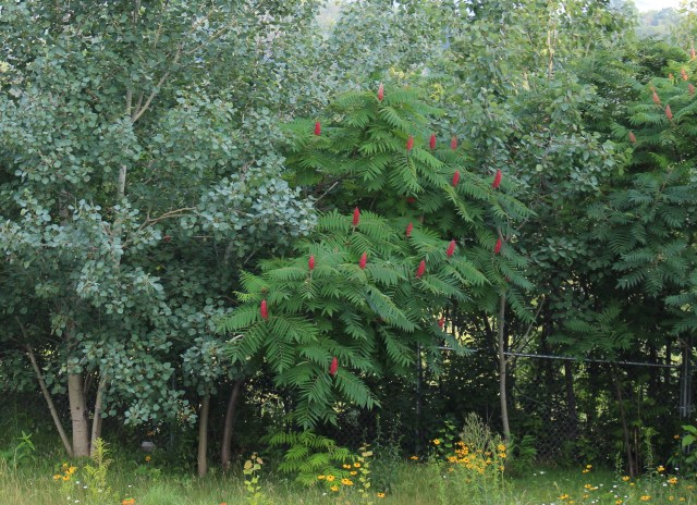 Rhus typhina staghorn sumac