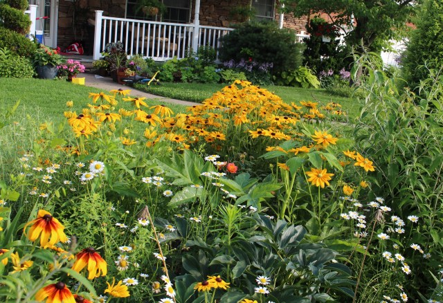 mixed annual rudbeckia plantings