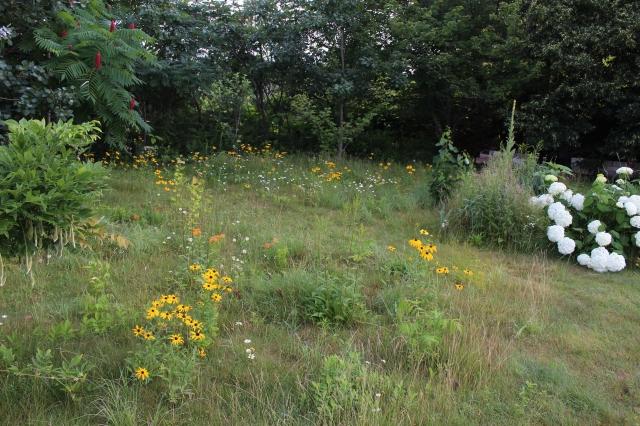 rudbeckia hirta meadow