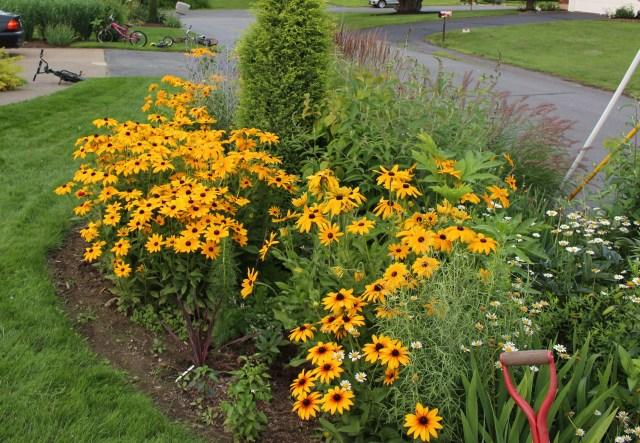 gloriosa daisies rudbeckia