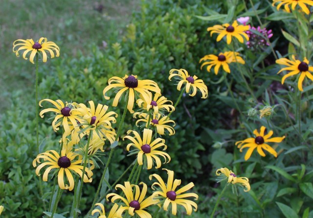 rudbeckia hirta light yellow