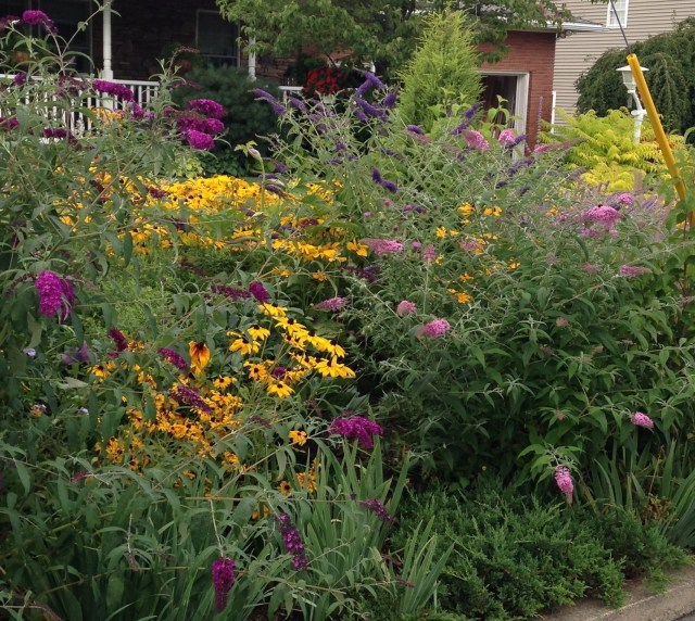 rudbeckia and butterfly bush buddleia