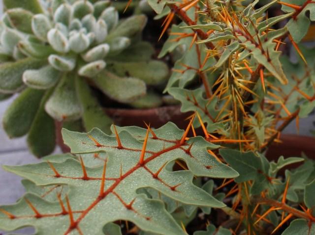porcupine tomato pyracanthum