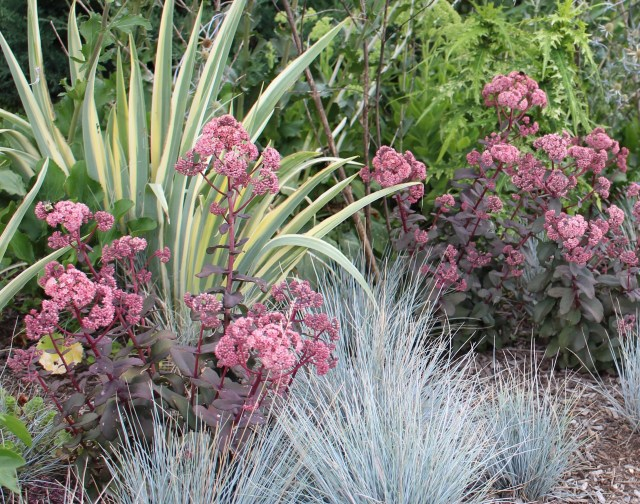 sedum 'bon bon' with blue fescue