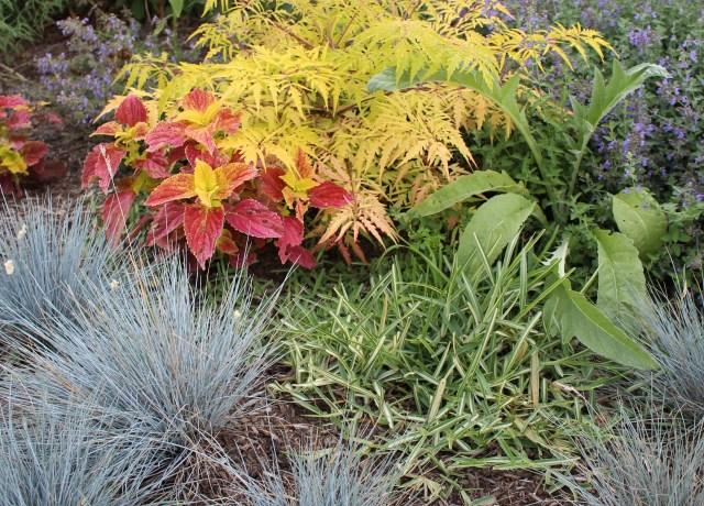 variegated st Augustine grass