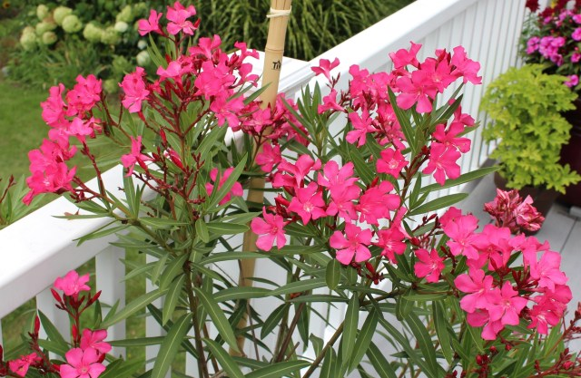 oleander in container