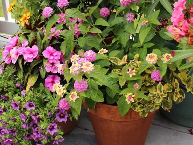 lantana in container