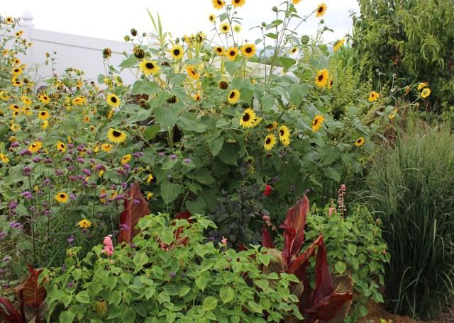 flower border sunflowers