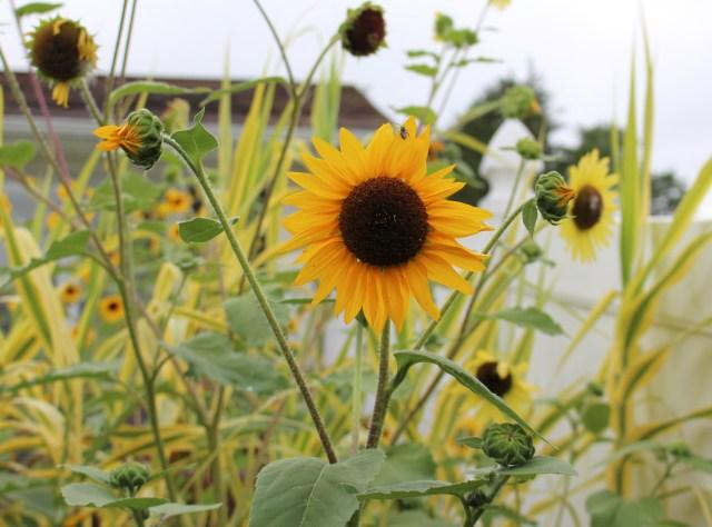 bird seed sunflowers