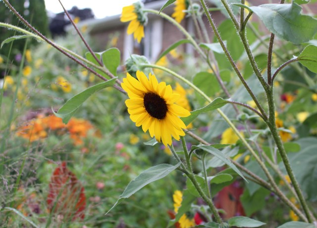sunflower bloom birdseed