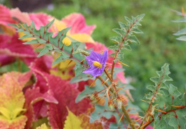 solanum pyracanthum flower