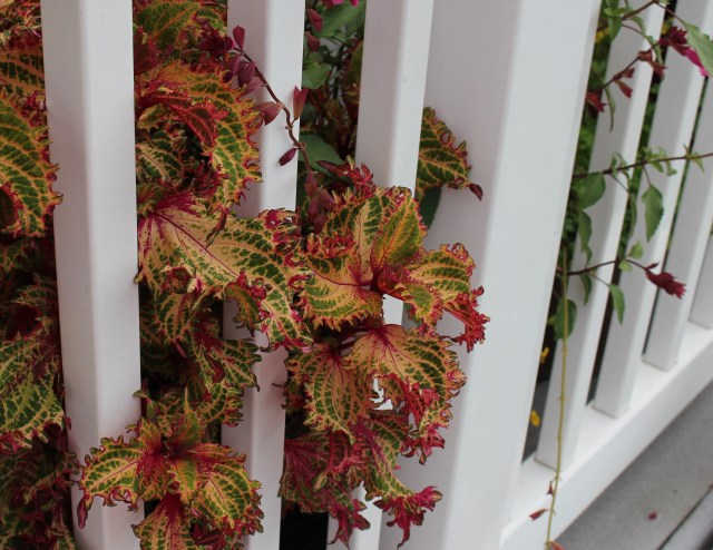 coleus in deck planters