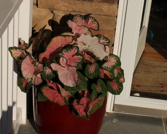pink splash caladium