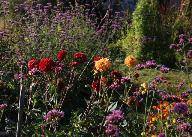 dahlias and verbena
