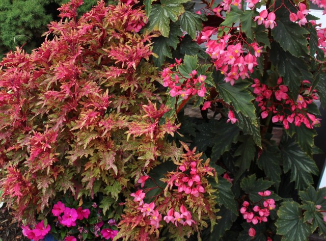 limon blush coleus with cane begonia