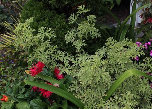 lady plymouth geranium