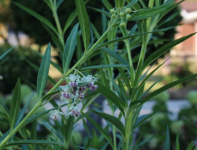 Gomphocarpus physocarpus flowers milkweed