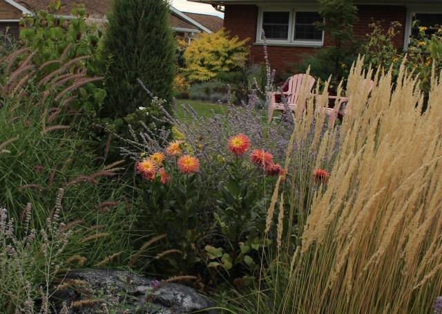 dahlia in mixed perennial border